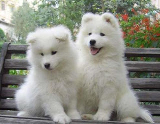 Samoyed Puppy Picture