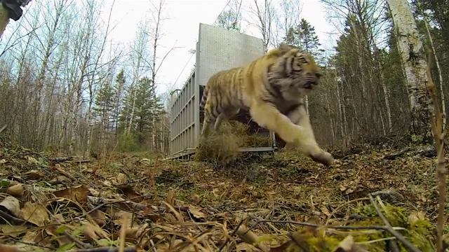 Incredibly Rare Siberian Tiger Release - GoPro Video