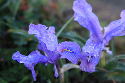 Spanish Irish – Iris Xiphium [Iridaceae – Iris family].