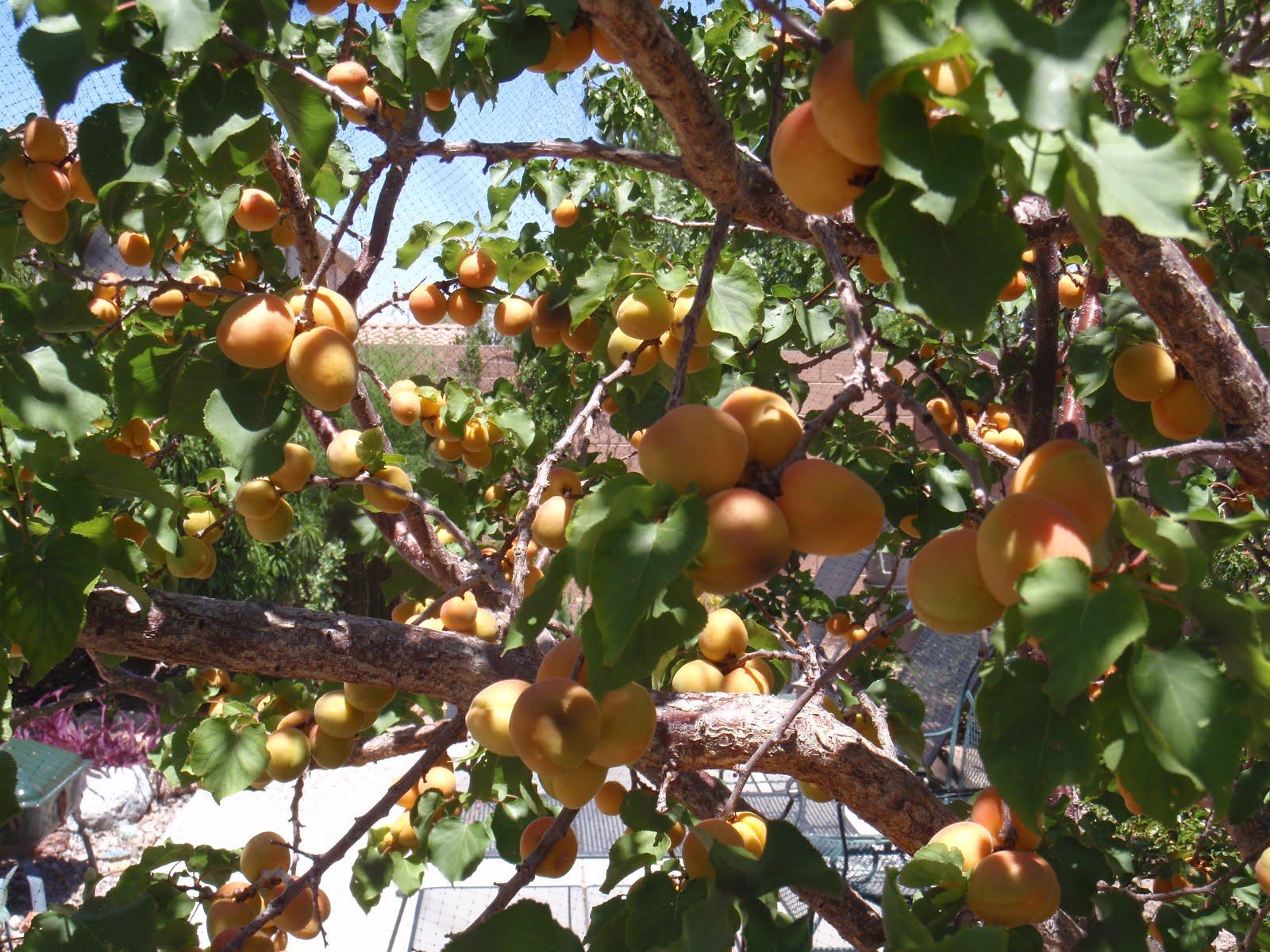 Fruit Trees Las Vegas: Netted Plum