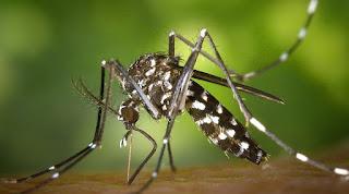 nyamuk Berbahaya Aedes Albopictus