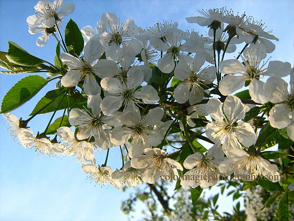 White cherry blossoms on tree branch against the blue sky