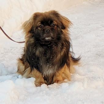 Hiawatha av Tibbehaugen - Sønn av Muni og Louie som nå venter valper 8. mars