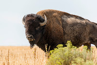 ANTELOPE ISLAND HOME OF BISONS