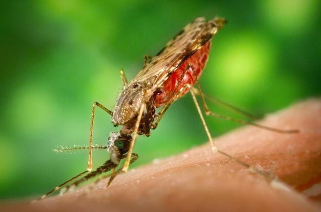 El mosquito y la malaria