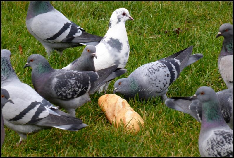 Pigeons Versailles