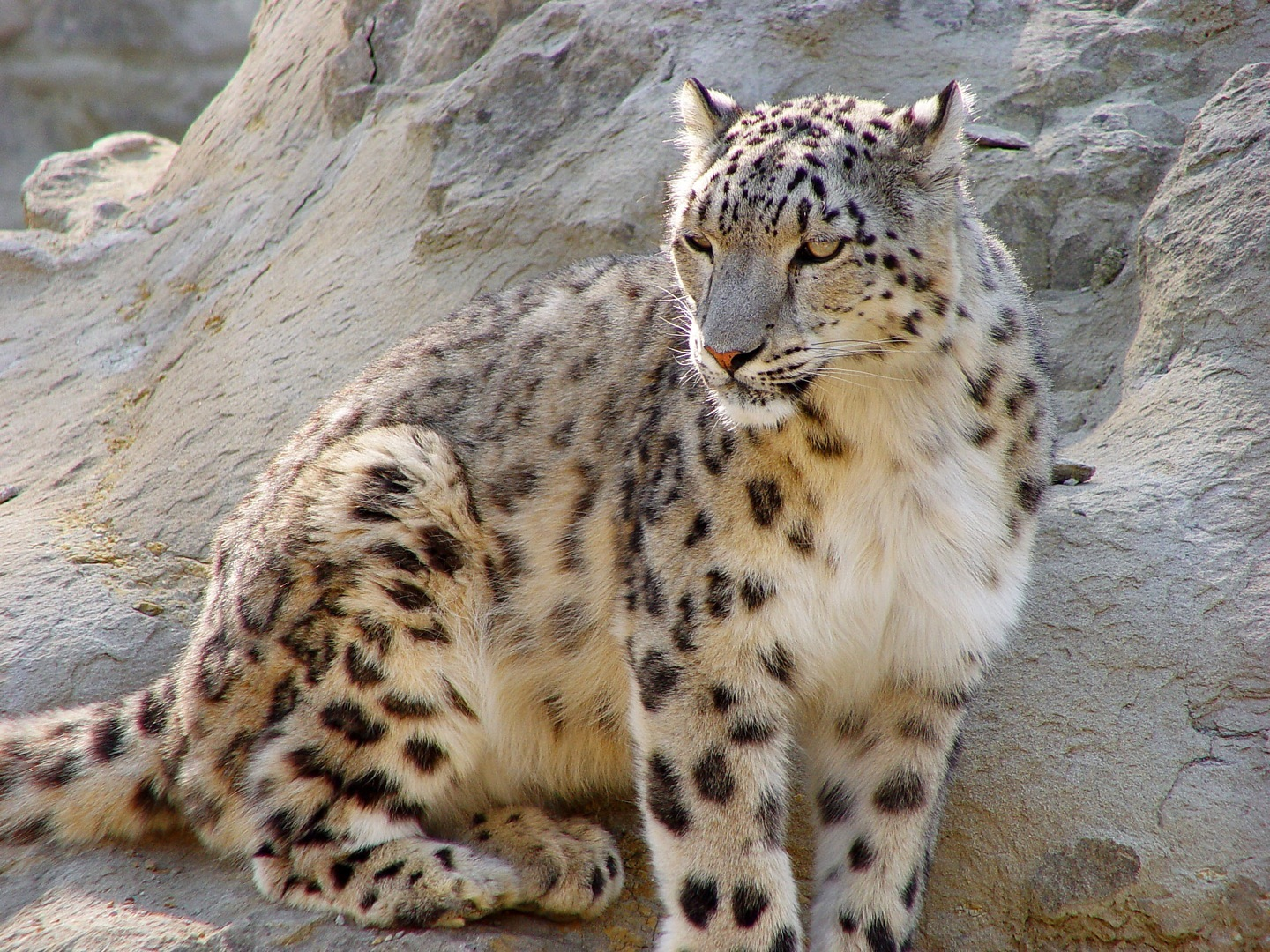 the snow leopard Buy the snow leopard new ed by peter matthiessen (isbn: 9780099771111) from amazon's book store everyday low prices and free delivery on eligible orders.