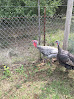 Gray and Turk, our Gobblers