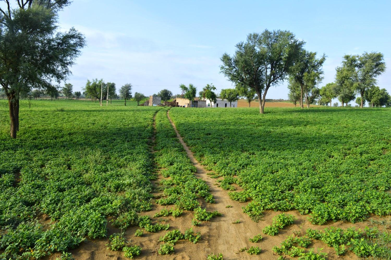 groundnut farm