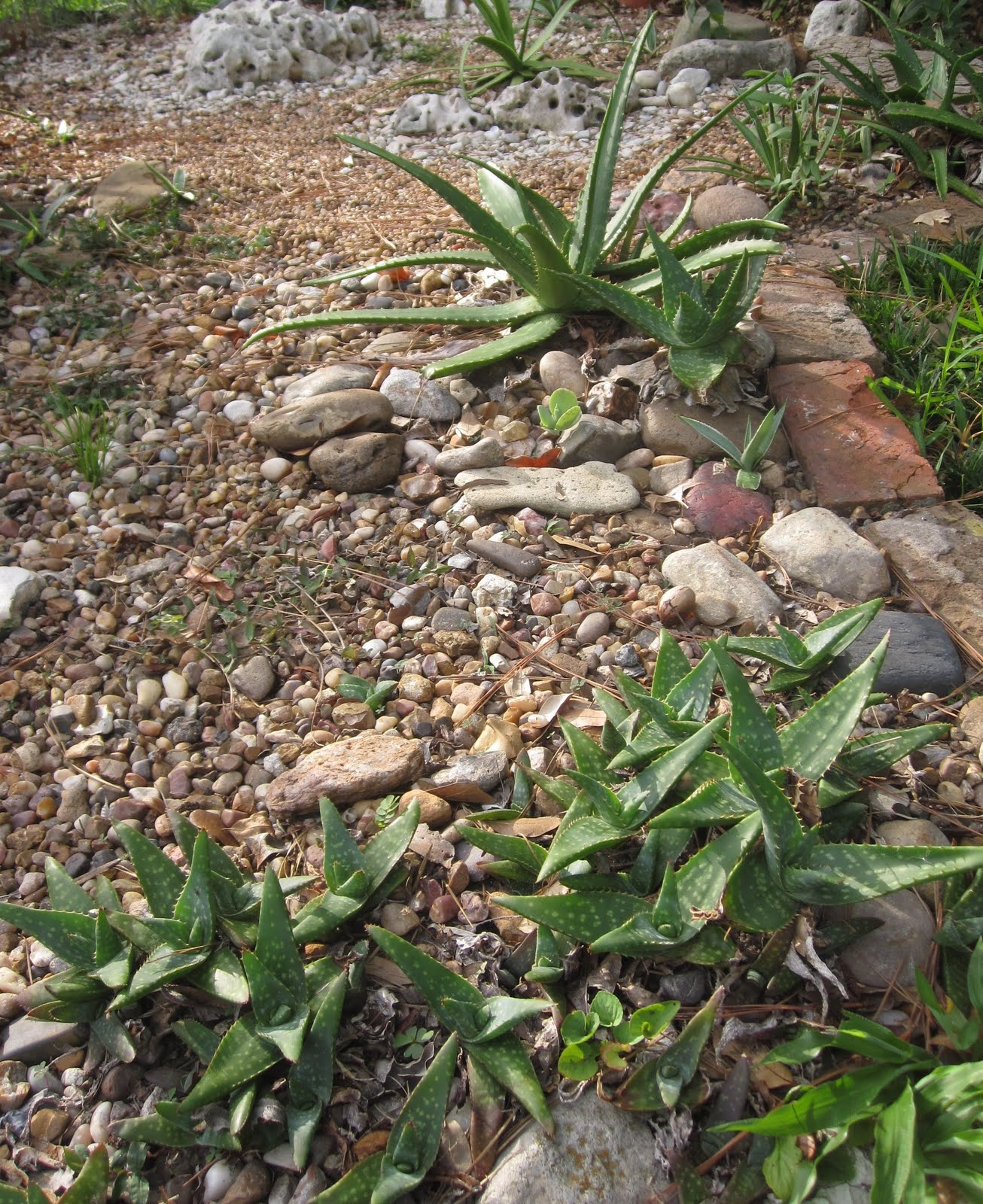 Tropical Texana: LANDSCAPING WITH ALOES: UNSUNG HEROES