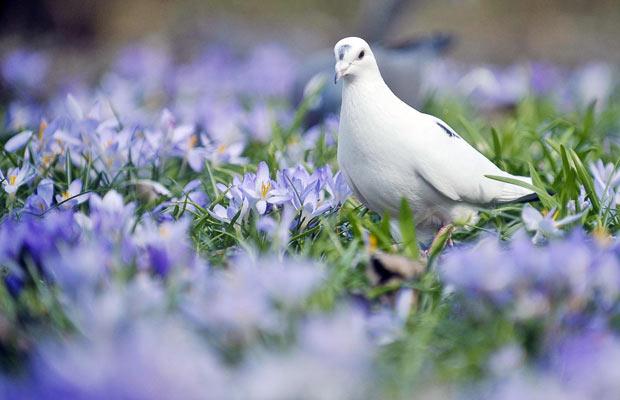 Porumbelul alb...