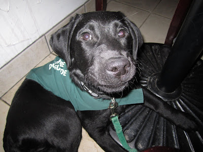 Black lab puppy Romero is tucked under a table at a restaurant. He is lying on a tile floor, leaning against the big black base of the table. He is wearing his green future dog guide jacket and has a green nylon leash attached to his collar. Romero is looking upwards toward the camera. He has just finished either sticking his tongue out or licking his lips, so he has a really funny expression on his face, with his lips all puffed out in an odd little smile.