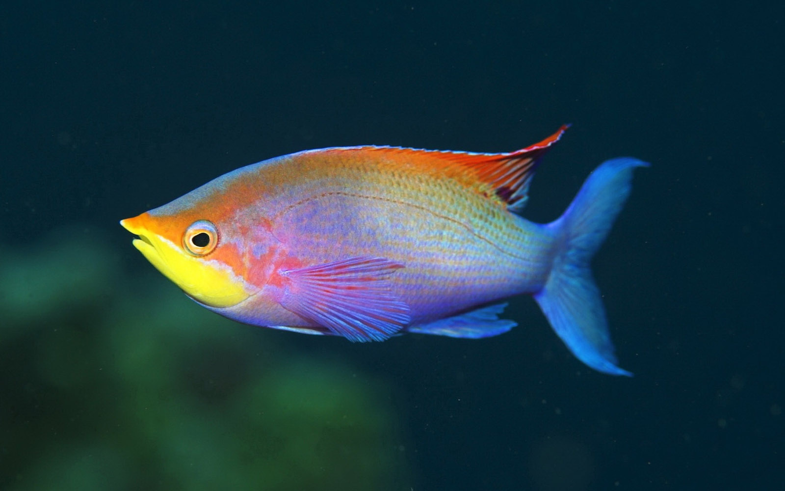 Rainbow Fish Wallpapers - 2013 Wallpapers