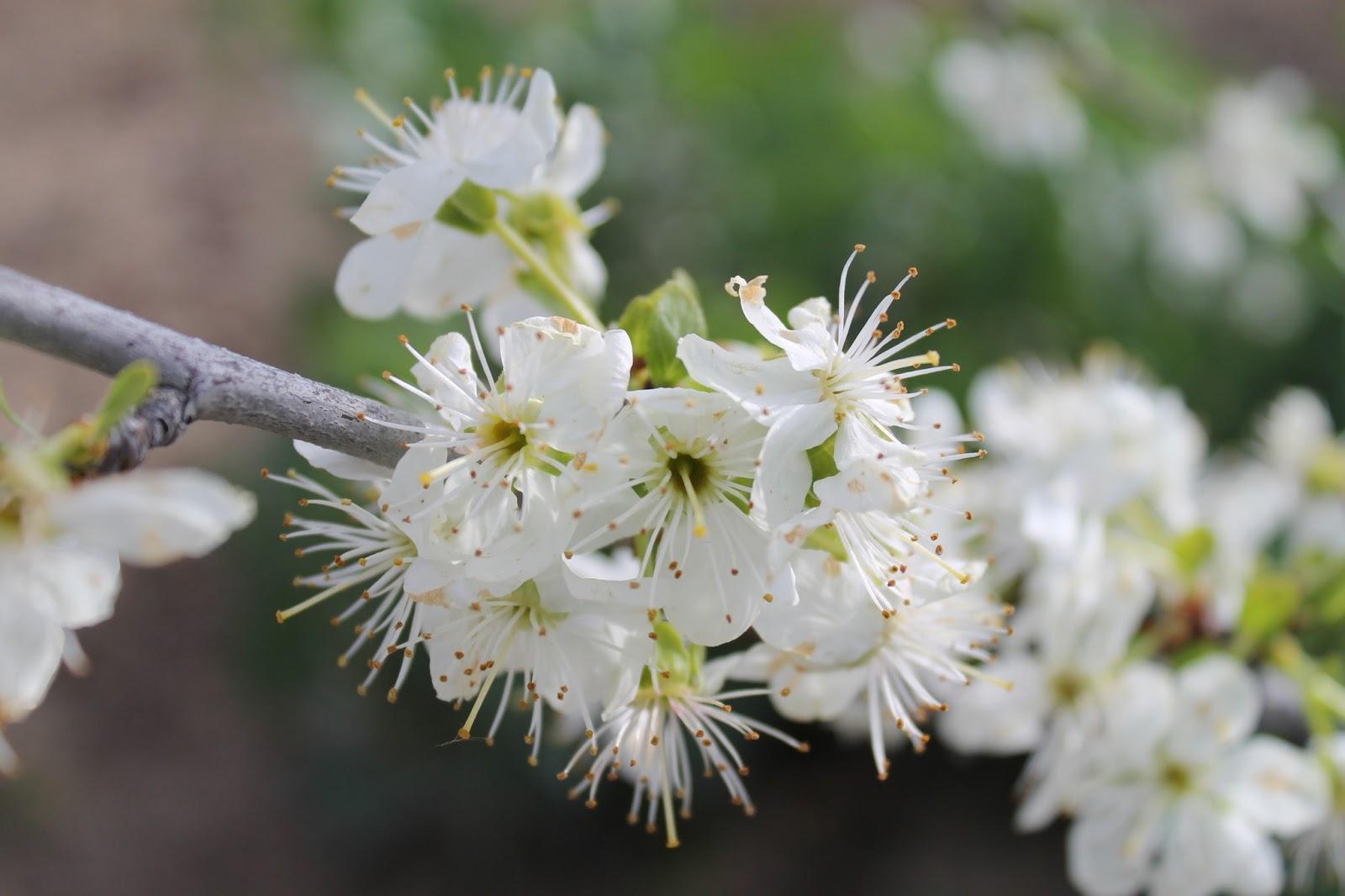 Meteom stoles frutales en flor ahora cerezos perales y ciruelos - Cuando se plantan los arboles frutales ...