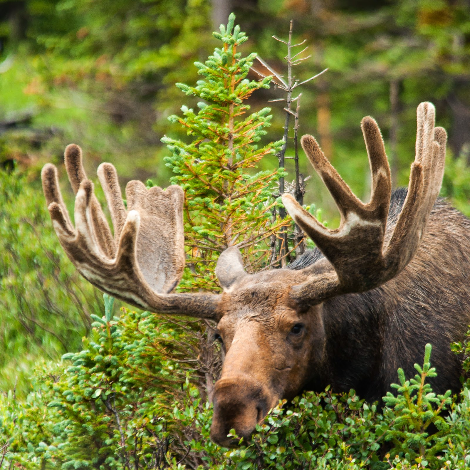 Bull Moose, Brainard Lake