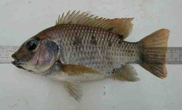 Sciency thoughts choking on fish is a significant cause for Fish native to florida