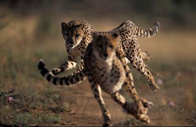 Cheetahs Switch Gears