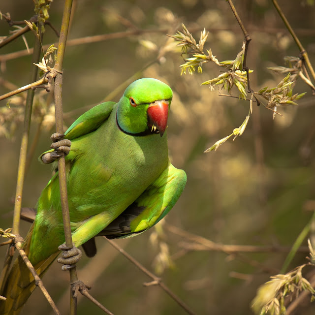 Green Parrot Wallpapers HD