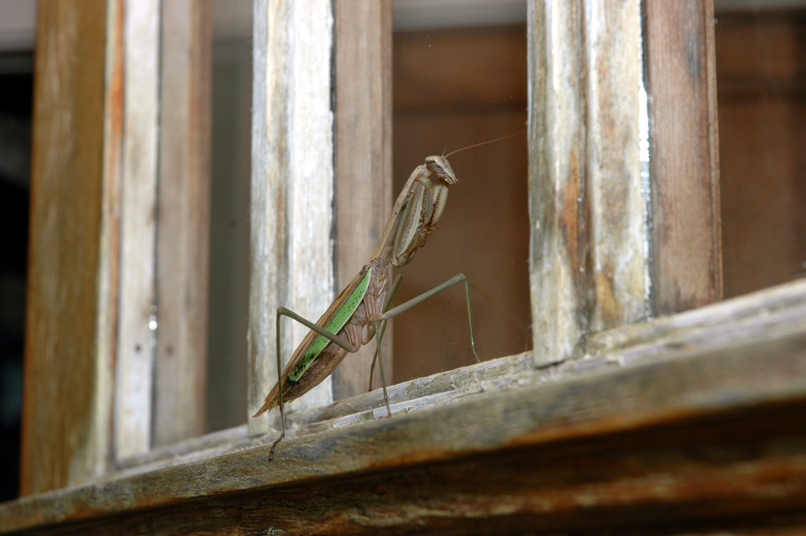 Tammy Sue Willey, Praying Mantis