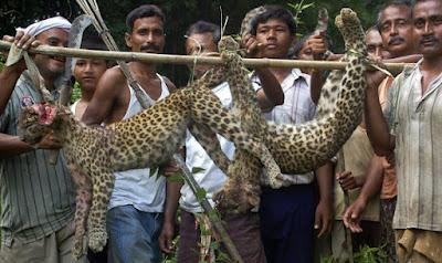Dua anak harimau bintang mati dipukul kejam
