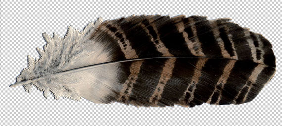 feather being processed in Photoshop