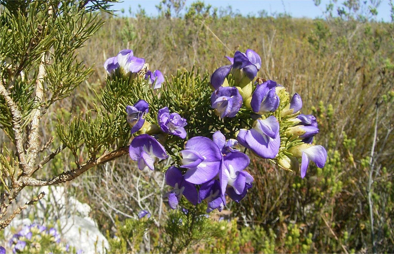 Psoralea azurea flowers
