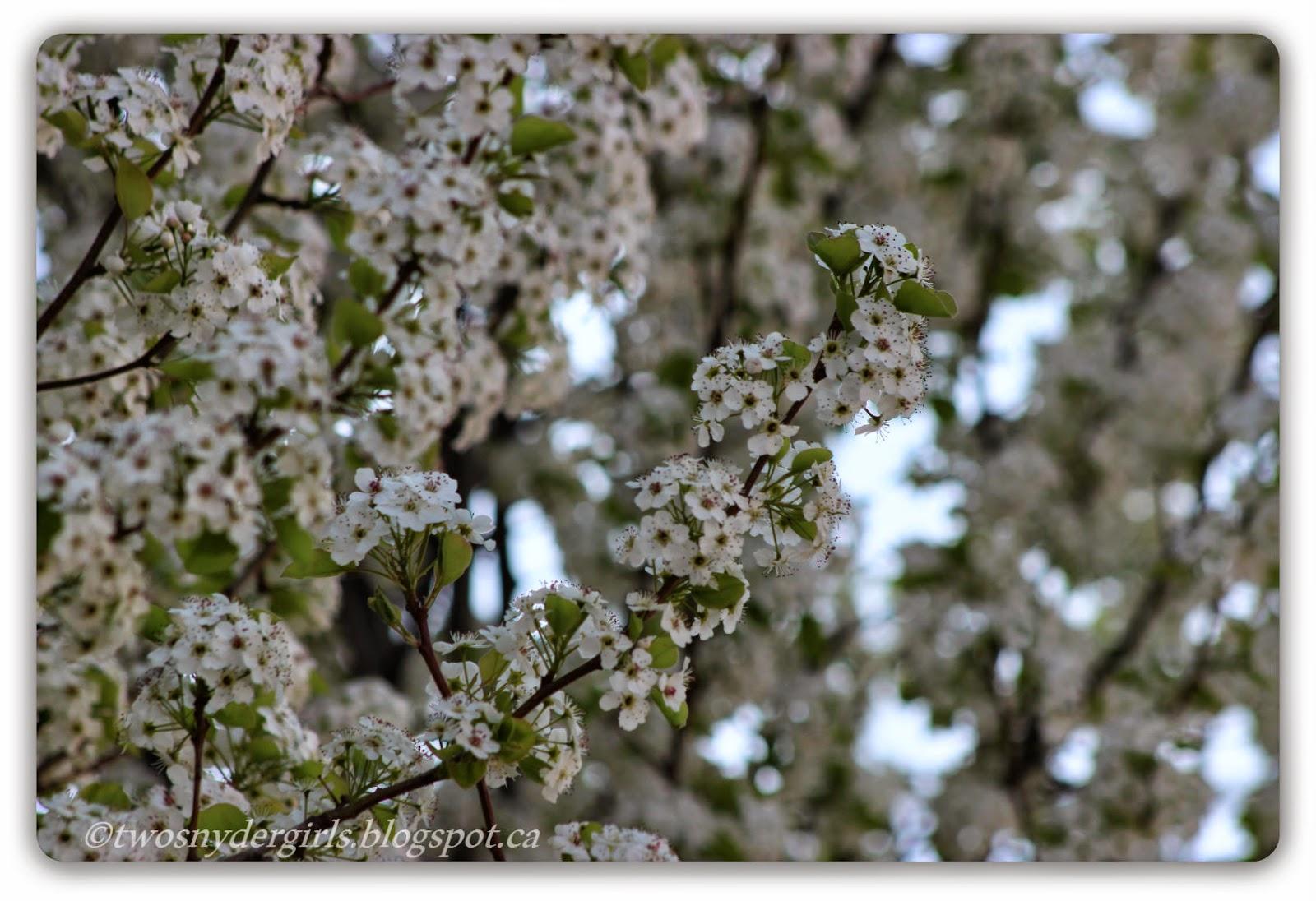 Spring blossoms white