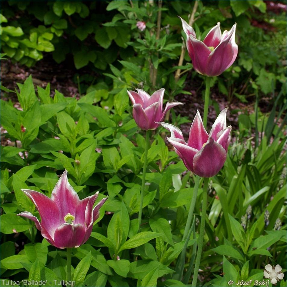 Tulipa 'Ballade' - Tulipan 'Ballade'