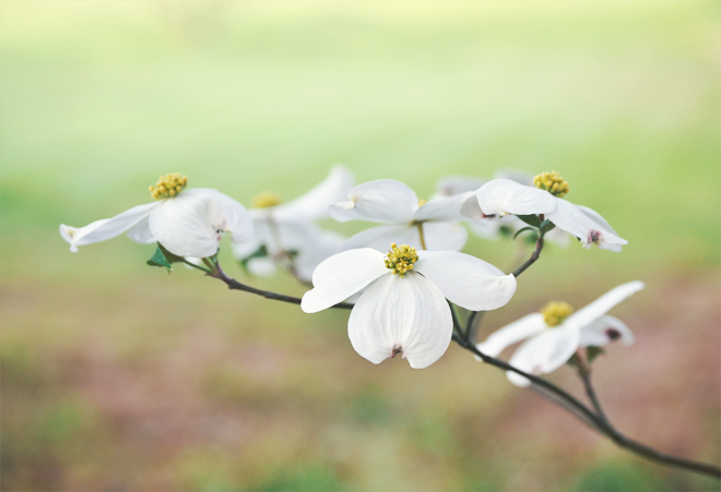 The Flying Clubhouse: Dogwood Time
