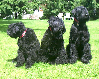 Black Russian Terrier Photo