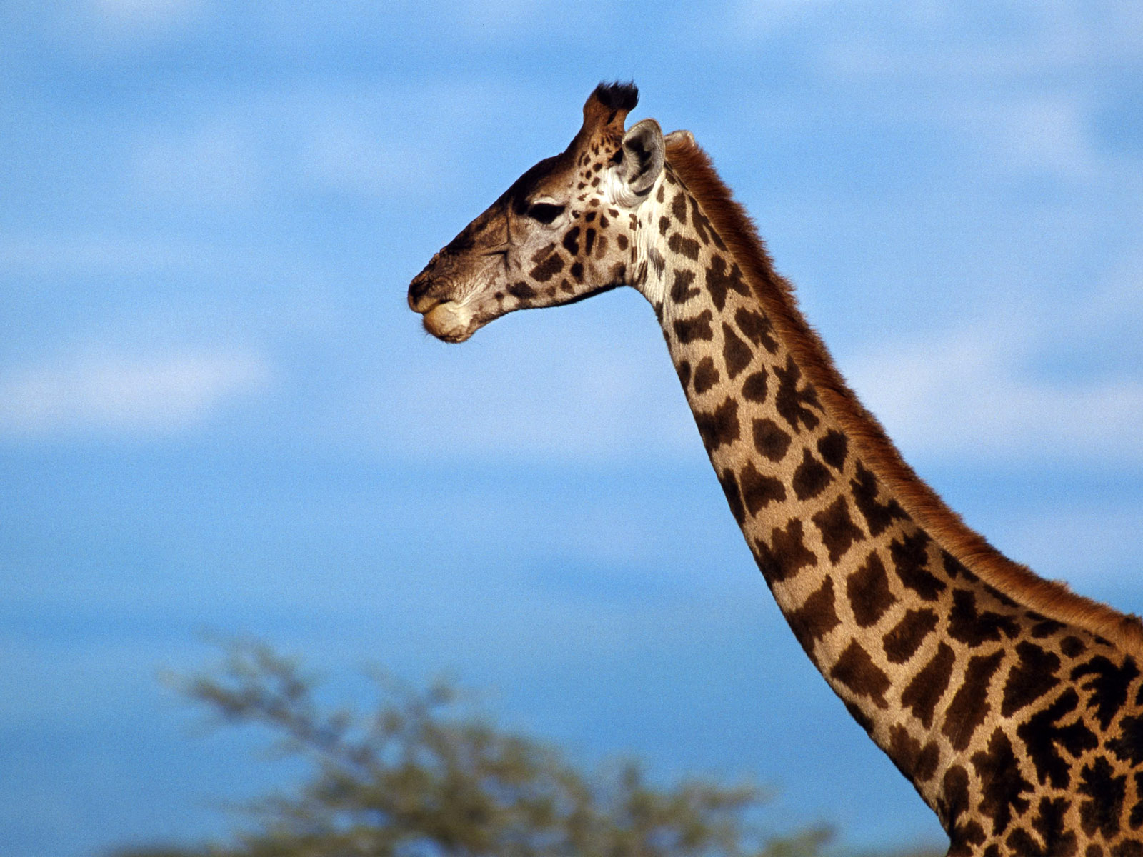 Animal Wallpapers Giraffe