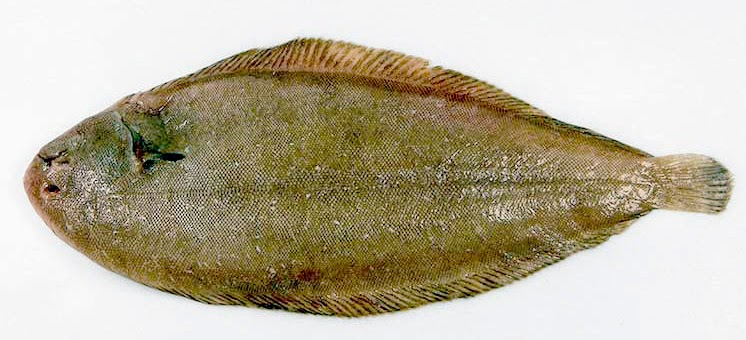 Behind the french menu sole fran aise dover sole or sole for Dover sole fish