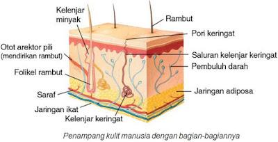 penampang kulit dan bagiannya