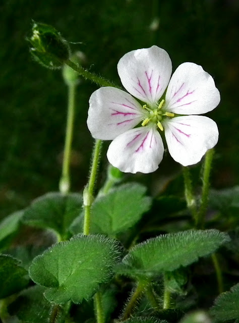 Erodium x Variable Album - white heron's-bill flower and hairy leaves