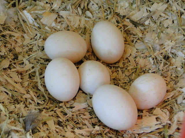 how to tell if duck eggs are off