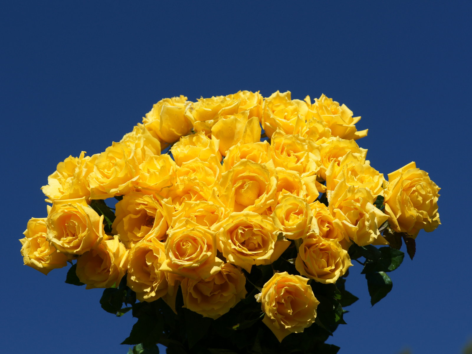 Yellow Rose Wallpapers | Wallpapers Pictures Lovers