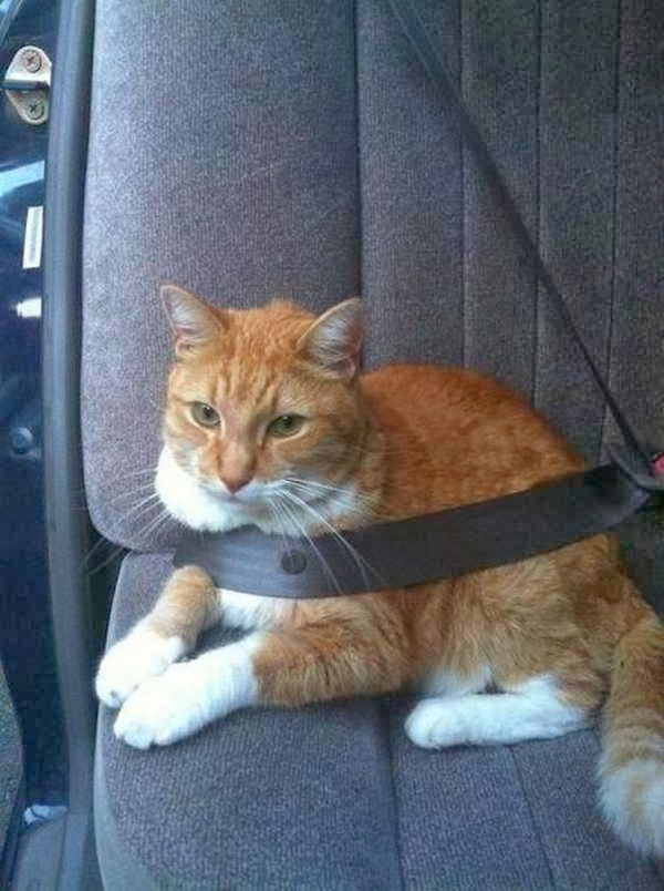 Funny cats - part 81 (40 pics + 10 gifs), cat pics, cat wears seat belt