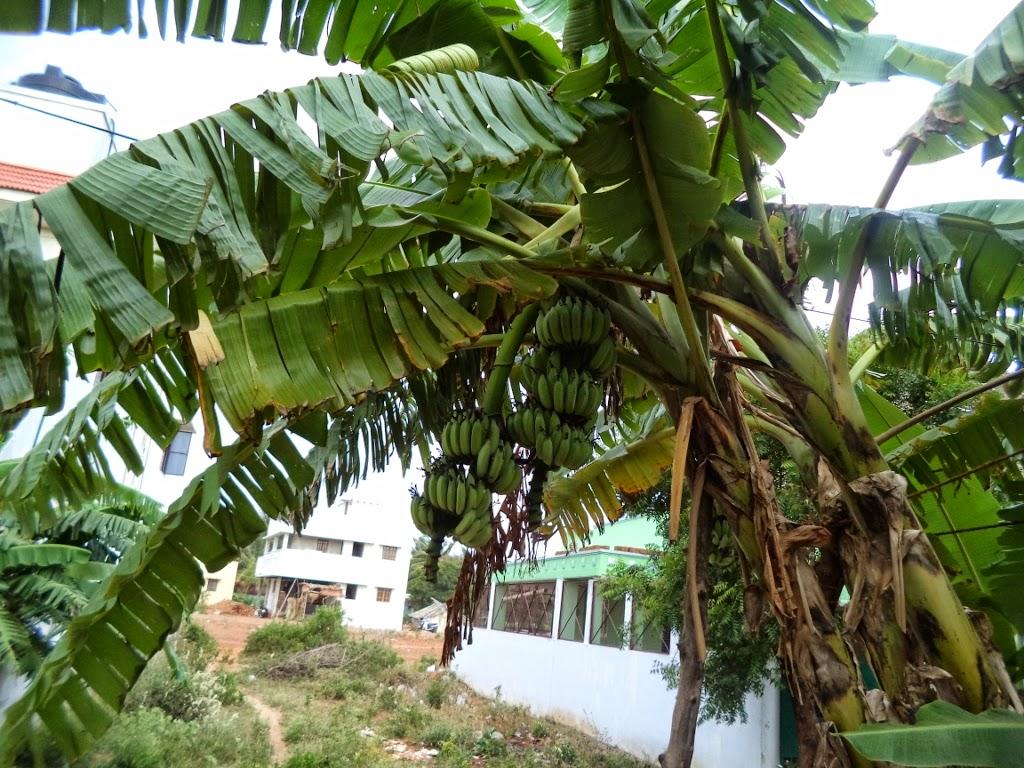 Torn banana leaves, twin bananas, banana bunches, banana plant,