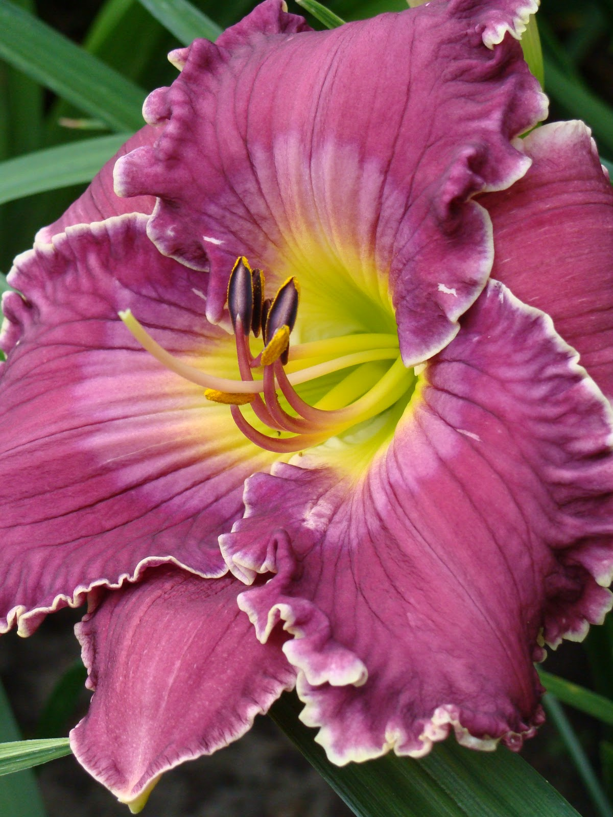 A Tale Of Two 39 Bella Sera 39 Clumps Daylily Blog On