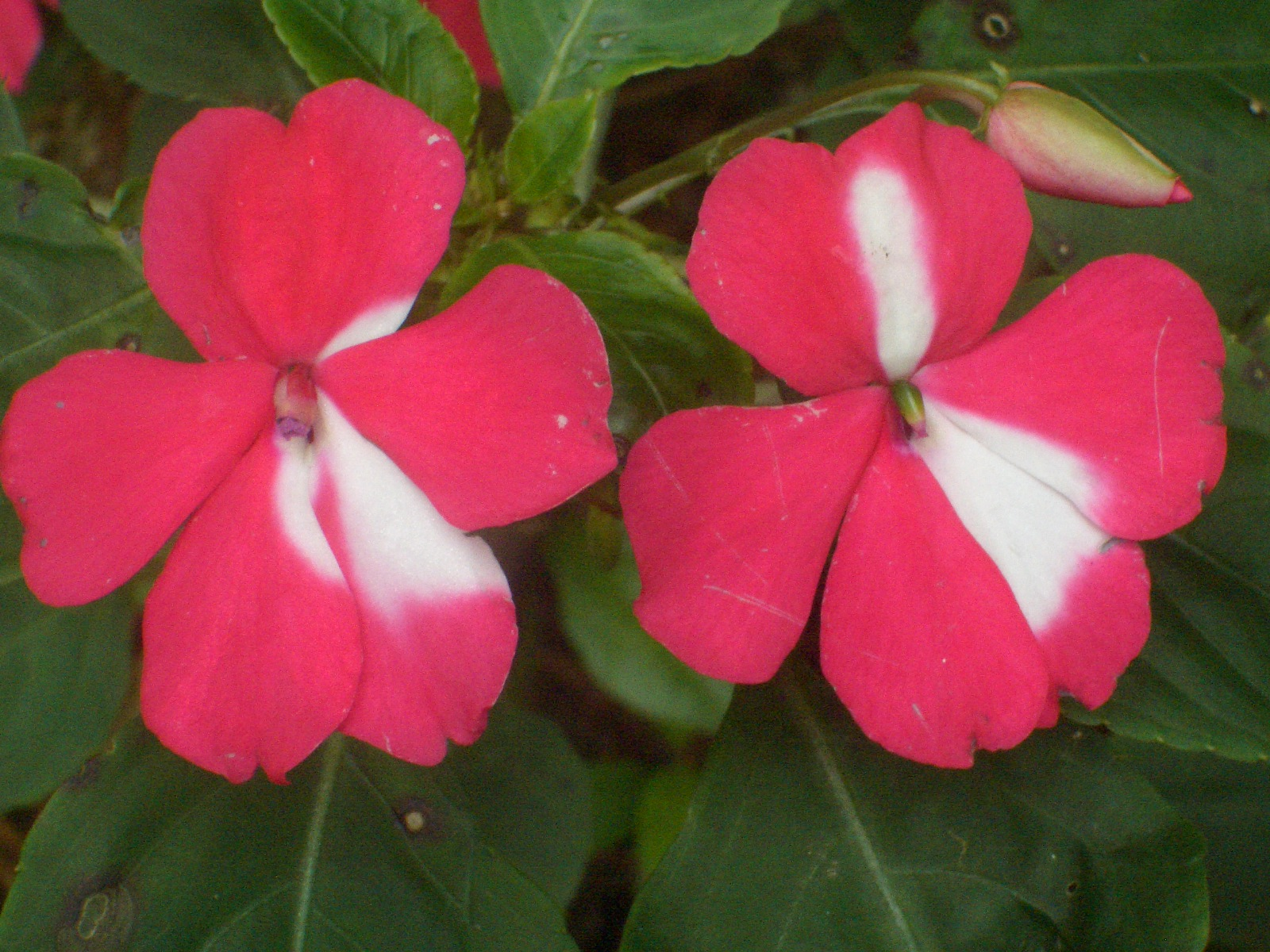 Eileen First Interest Beautiful Plants and Flowers Busy Lizzy Impatiens