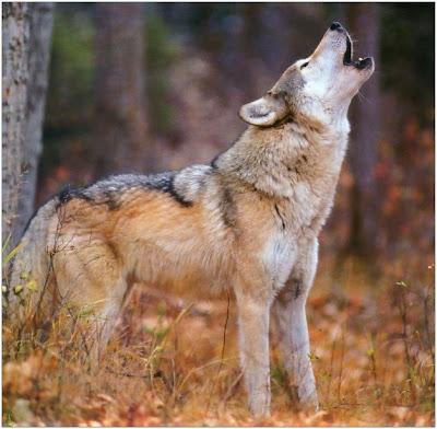 Manada:  Lobos de Medianoche Lobos-g