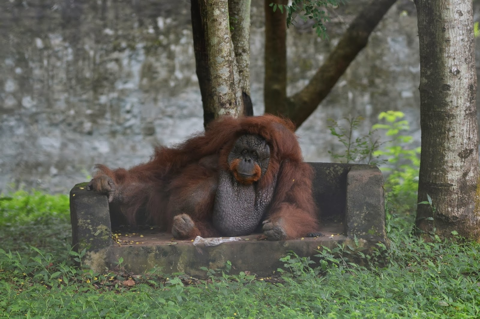 Orangutan at Nandankanan zoological park