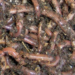 Worm farm business how to fix wet worm bedding for Red worms for fishing