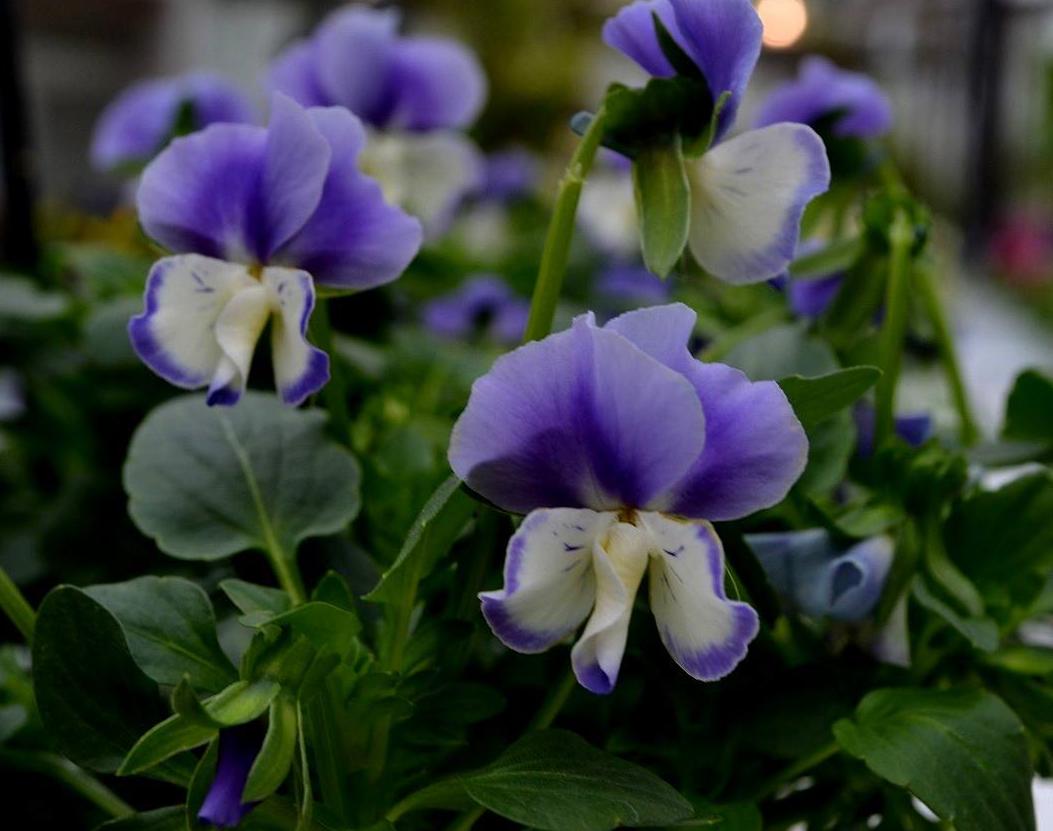 Pensamientos y violas flores de oto o e invierno seres for Plantas para invierno