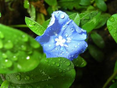 Gambar Daun dan Bunga Berwarna Biru nan Eksotis