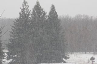 photo of snow falling in front of pine trees