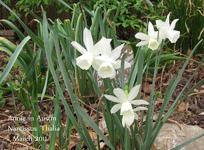 Annieinaustin, Narcissus Thalia Daffodil