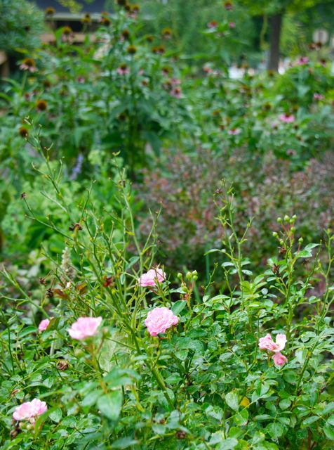 The Hill Garden is finally starting to freshen up a bit with Rosa 'The Fairy' coming back into bloom. The coneflowers on top of this planting are still going also.