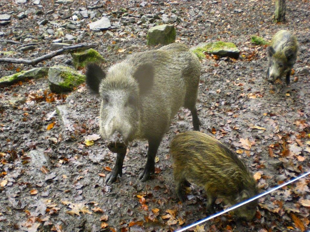 Hunderunde Dammwild Wildschweine Herbst Wald Blätter Matsche