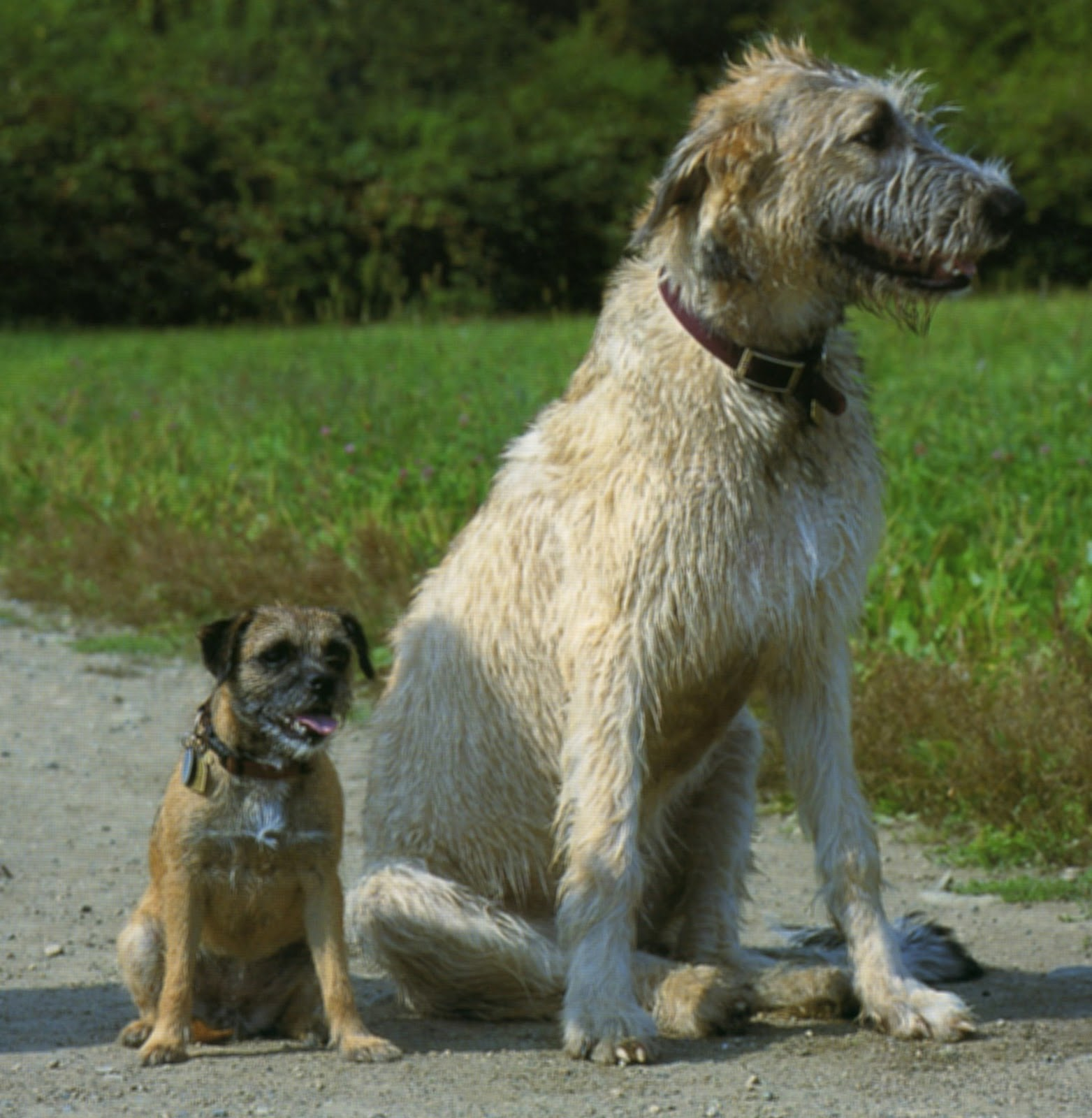 Mary's Be a GoodDog Blog: Irish Wolfhound Story: Learn ...
